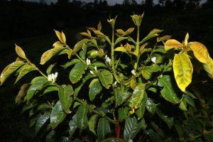 flowering coffee tree